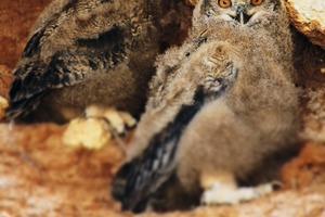 """<div class=""""bildtext"""">Doppelte Bedeutung: Eulen symbolisieren Weisheit. Etwa 70 % aller heimischen Uhus – die größten europäischen Eulenvögel – nisten in Steinbrüchen und Kiesgruben. So wurde der treue Uhu zur Symbolfigur im Logo des MIRO-Nachhaltigkeitswettbewerbes • </div> <div class=""""bildtext"""">Double meaning: owls symbolize wisdom. About 70 % of all native&nbsp; eagle owl - the largest European owl birds - nest in quarries and gravel pits. The faithful eagle owl became a symbol in the logo of the MIRO sustainability competition</div>"""