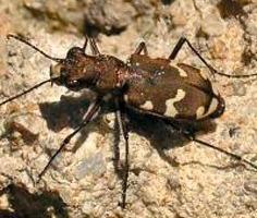 Die Erhebung von Laufkäfern brachte interessante Arten zum Vorschein # The survey of Ground Beetles revealed interesting species